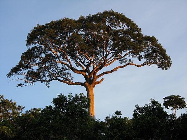 Kapok Tree (Ceiba pentandra) - Forestal Maderero