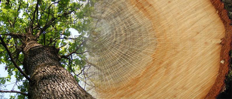 Madera de roble tipos y caracter sticas forestal maderero for La beta de la madera