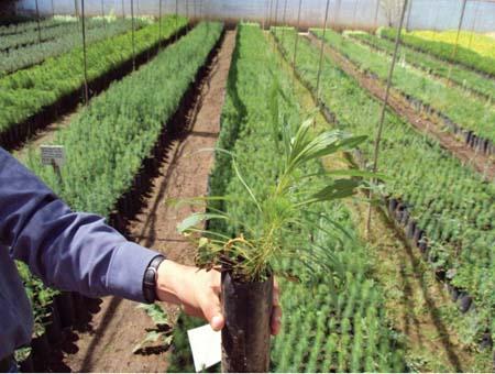 Manual de pr cticas de viveros forestales forestal maderero for Proyecto productivo de vivero forestal